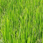 پیشبینی تولید یک میلیون و یکصد هزار تن برنج در گیلان