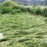 بارشهای اخیر سبب کندی برداشت شالیزارهای گیلان شده است