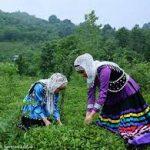 تولید چایمان امسال ۱۰ درصد افزایش یافت، قیمت چای خشک ۷۰ تا ۱۰۰ درصد/ هیچ چیزمان به هیچ چیز ربطی ندارد!