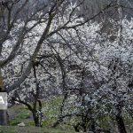 شکوفههای زمستانی درختان در گیلان